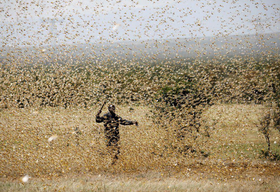 TBW: HUNDREDS OF BILLIONS of locusts are swarming through ...