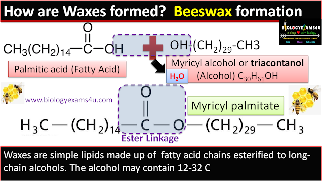 How are waxes formed? ester linkage in wax