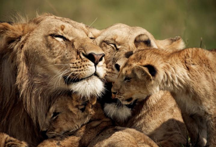 Família de Felinos