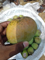 This a Himsagor Mango. It is full pure, fresh & cemicel-free mango.