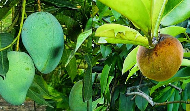arti mimpi makan buah mangga manis dan busuk
