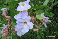 White vine flower close up - Lyon Arboretum, Manoa Valley, Oahu, HI