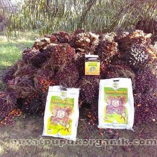 Cara supaya buah sawit lebat