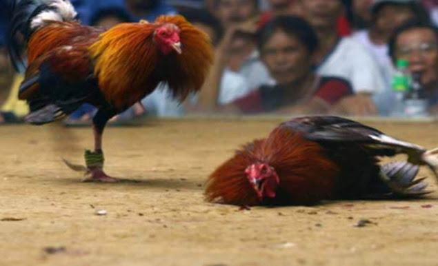 Cần chăm sóc tốt cho gà sau mỗi trận đấu