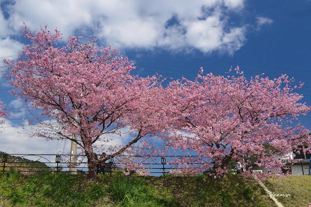河津町是目前我見過的,最美的櫻花之町。