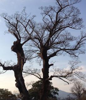 Cara Mematikan Semua Jenis Pohon Tanpa Harus Menebangnya