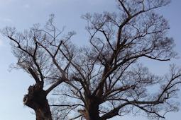 Tips Cara Mematikan Semua Jenis Pohon Tanpa Harus Menebangnya
