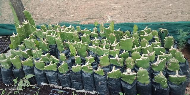 dragon fruit seedlings for sale Kenya