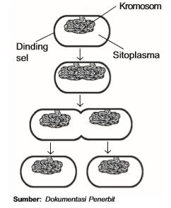 Pembelahan Amitosis Pada Bakteri