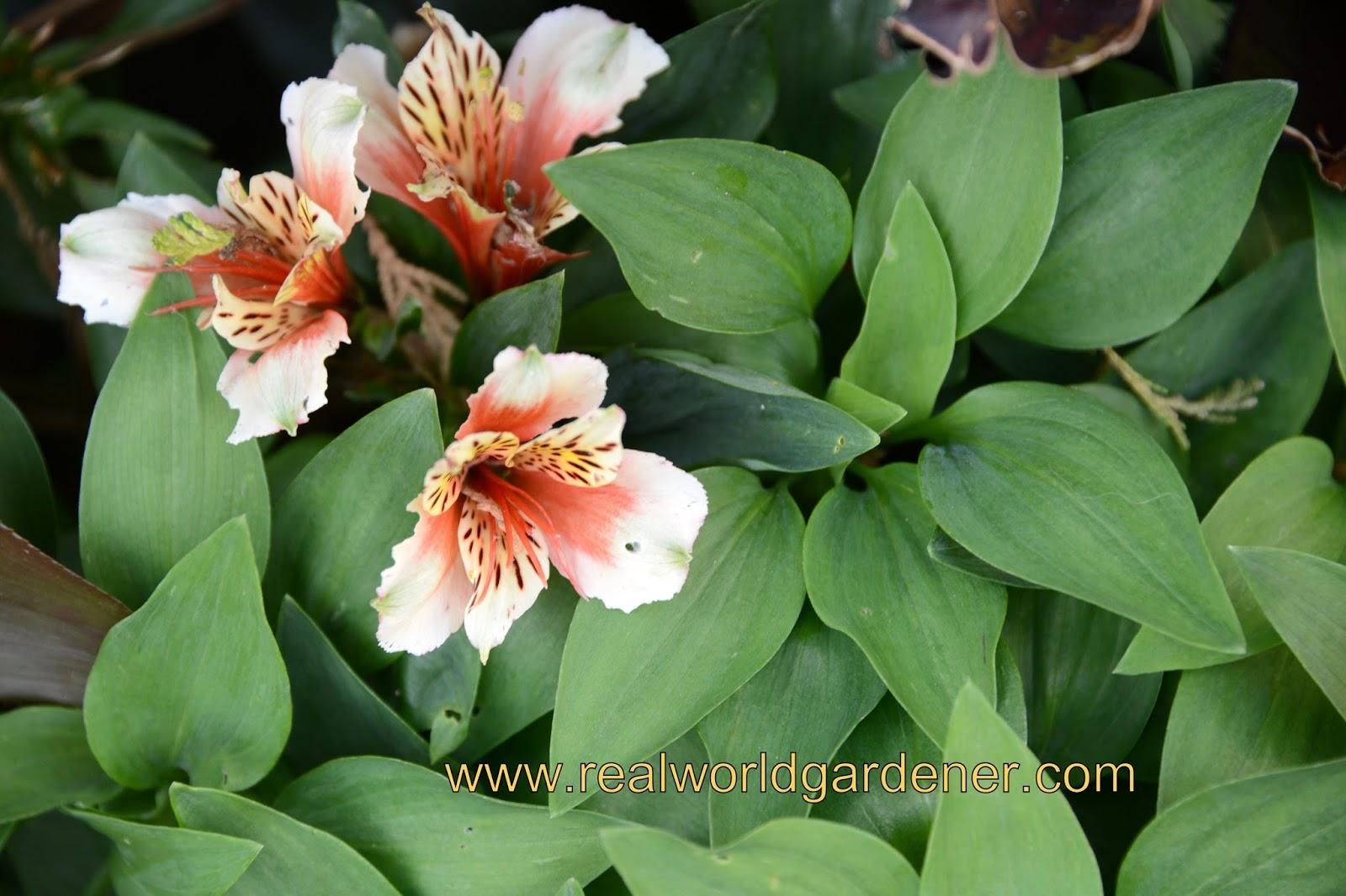 how to grow alstroemeria plants