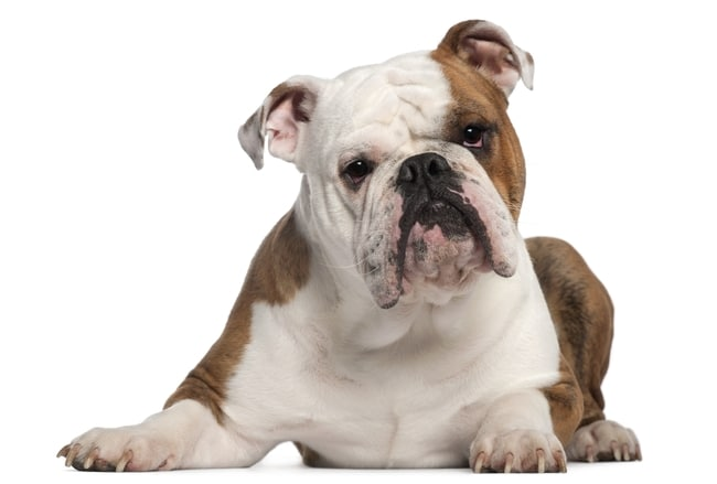 Are Bulldogs Lazy? Not as much as you think and here's why!