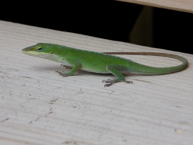 Lizard on deck