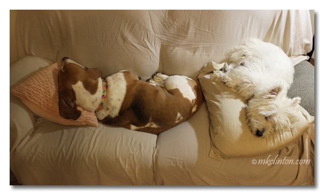 Bentley Basset and Pierre Westie sleeping on couch