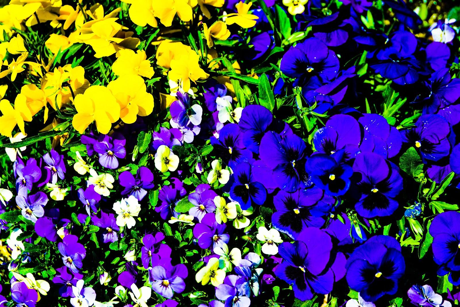 花壇の黄色と薄紫と紫のパンジー