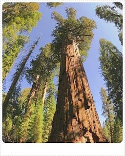 Pohon Besar Gian Sequoia