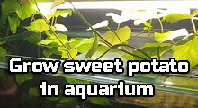 How to grow sweet potato in aquarium