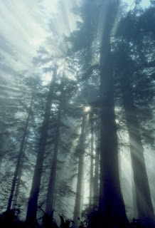 Redwood National Park,Lady Bird Johnson Grove,redwoods,forest,fog,blue,ferns,sun beams,shafts of light