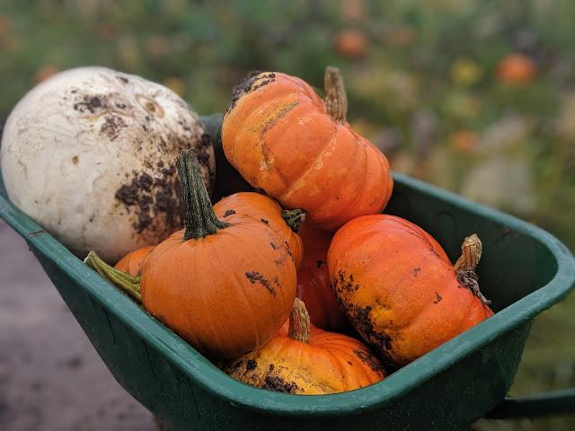 Wheelbarrow full of pumpkins at spilmans farm