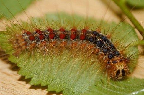 Ulat Bulu (Lymantriidae)