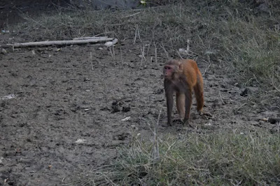 A monkey in the Karamjol of the Sundarbans