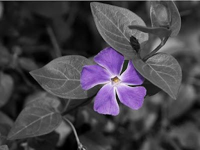 Mengenal lebih jauh bunga vinca yang indah