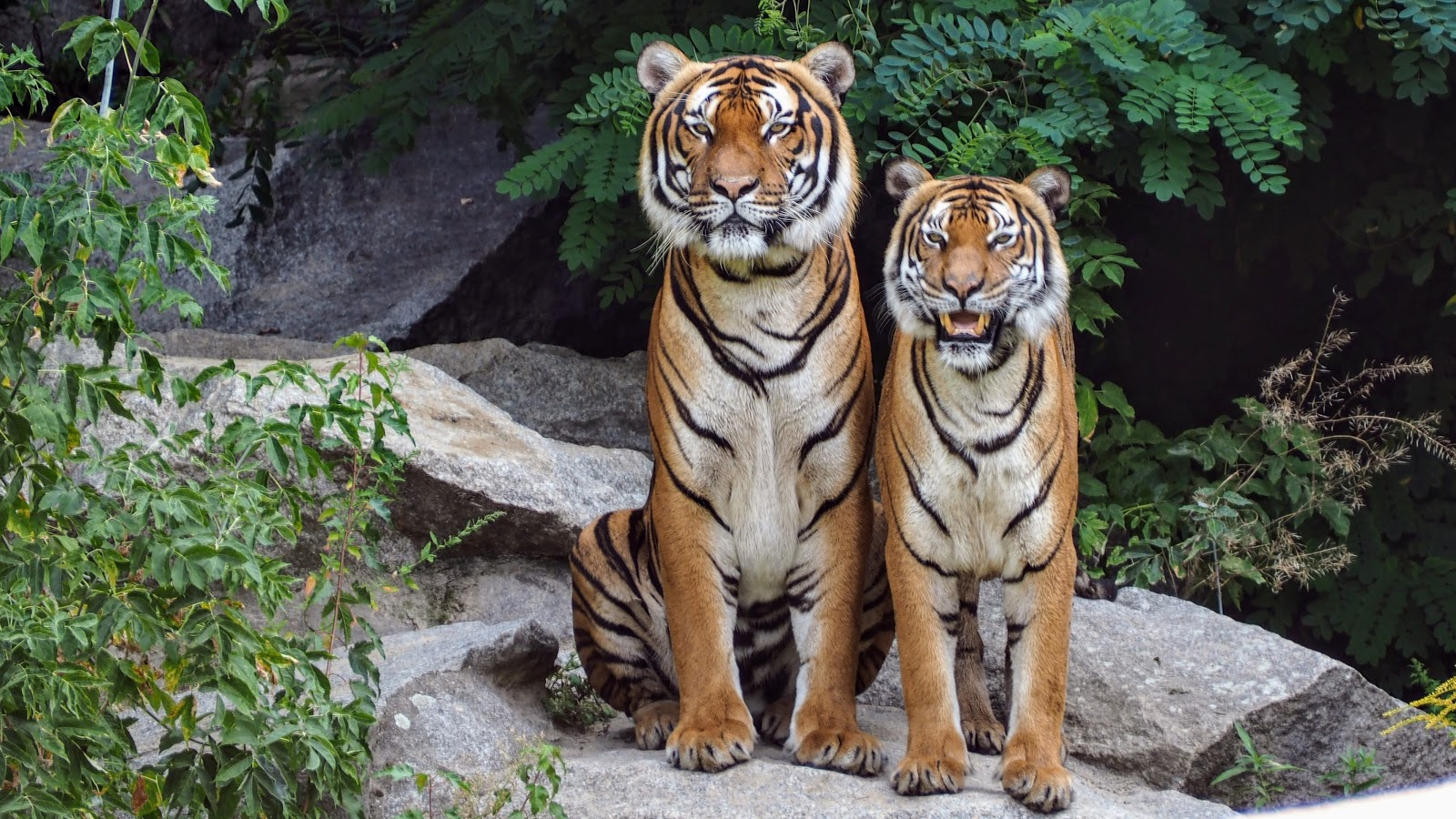 two-orange-tigers-sitting-beside-each-other-images