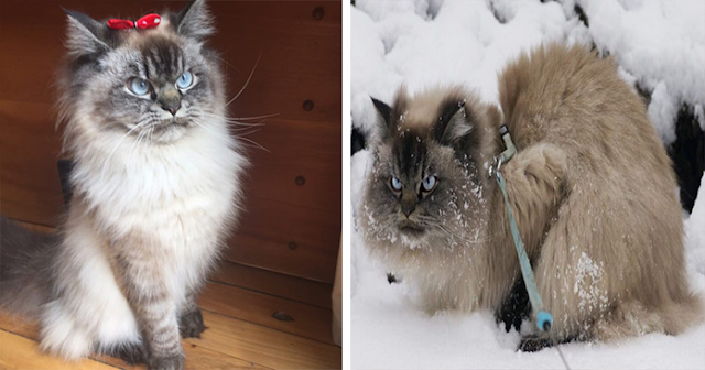 Meet Merlin, The Ragdoll Cat Who Hates Everything