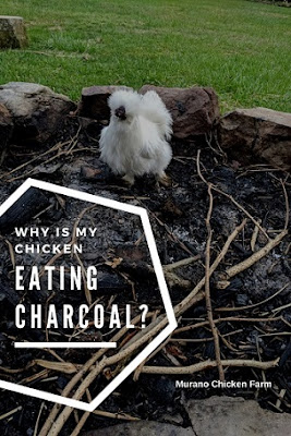 A white chicken in a firepit eating charcoal