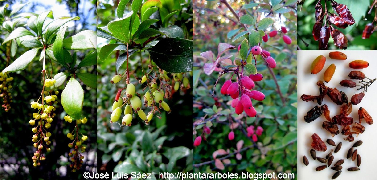 Plantar rboles y arbustos arbustos aut ctonos espa a for Arbustos con flores para jardin