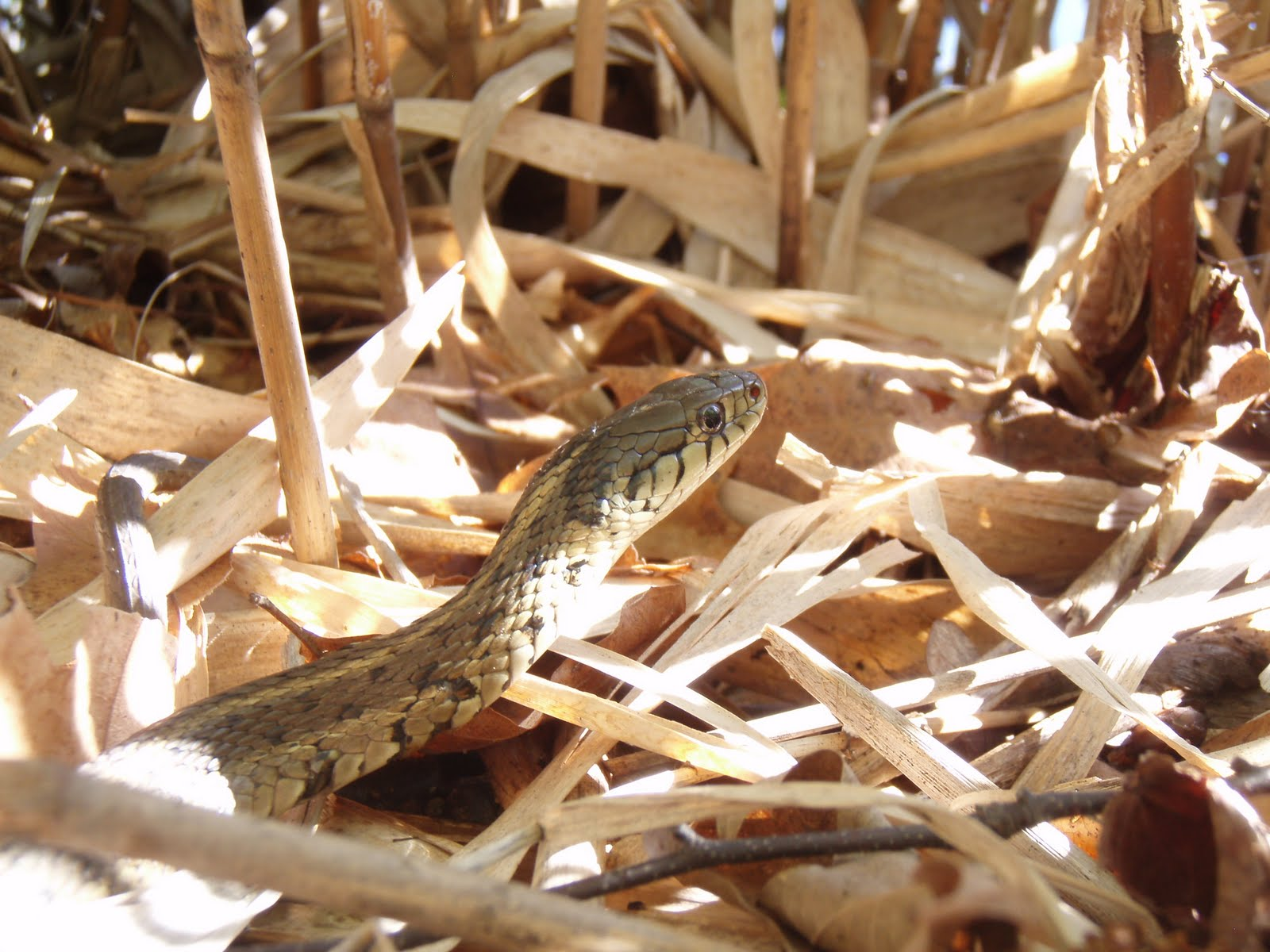 Plants And Wildlife Of New Jersey Eastern Garter Snake