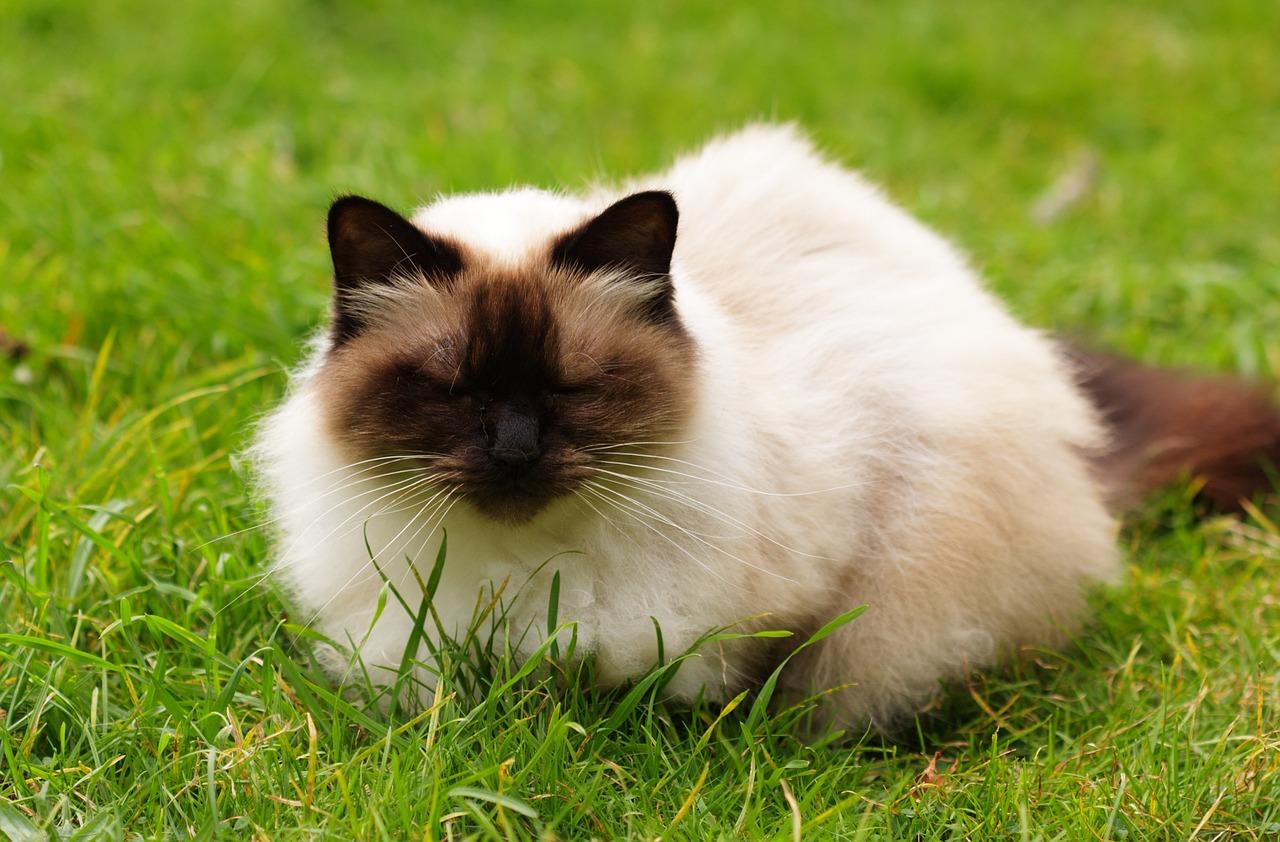 قطط الهيمالايا