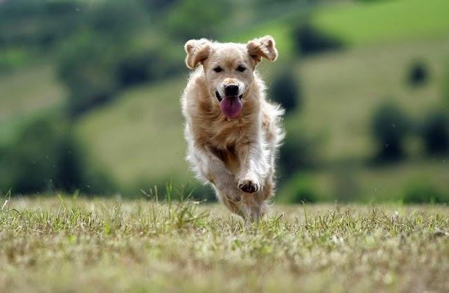 Psy szukające trufli