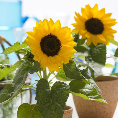 向日葵種子 矮性品種微笑