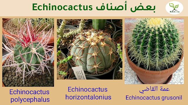 نبات عمة القاضى أو كرسى الحماة Echinocachus grusonil