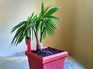 membuat-bonsai-kelapa-bercabang.jpg
