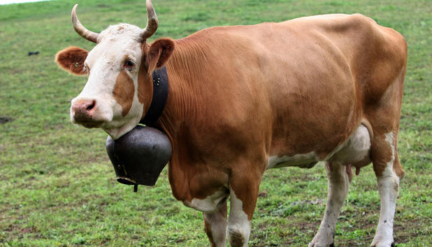 No more bells for cows?