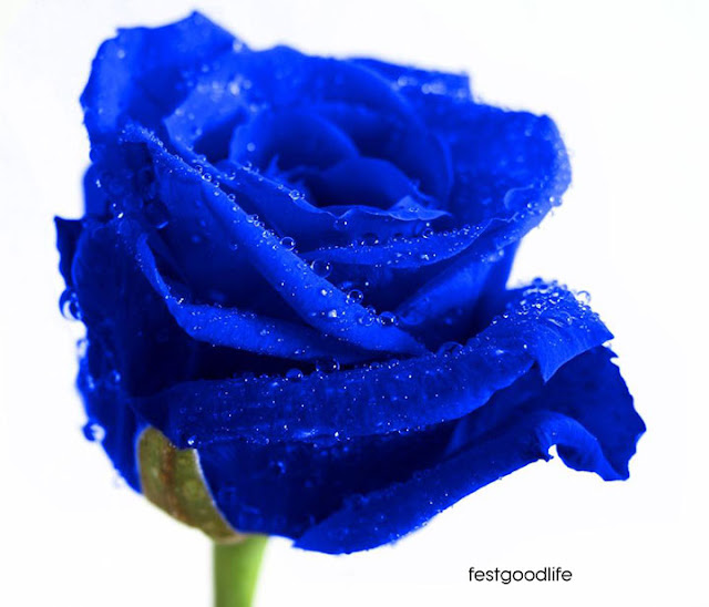 blue rose flower images wallpapers free download