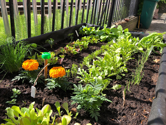 Raised bed filled with different types of lettuce and other salad ingredients