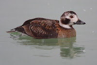 Long-tailed duck, female – Cobourg, ON – Feb. 2007 – no author