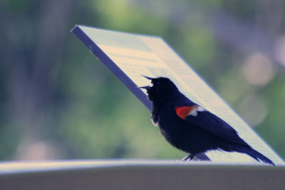 The Red-winges Blackbird @ Hendrie Park, RBG, Burlington, ON :: All Pretty Things