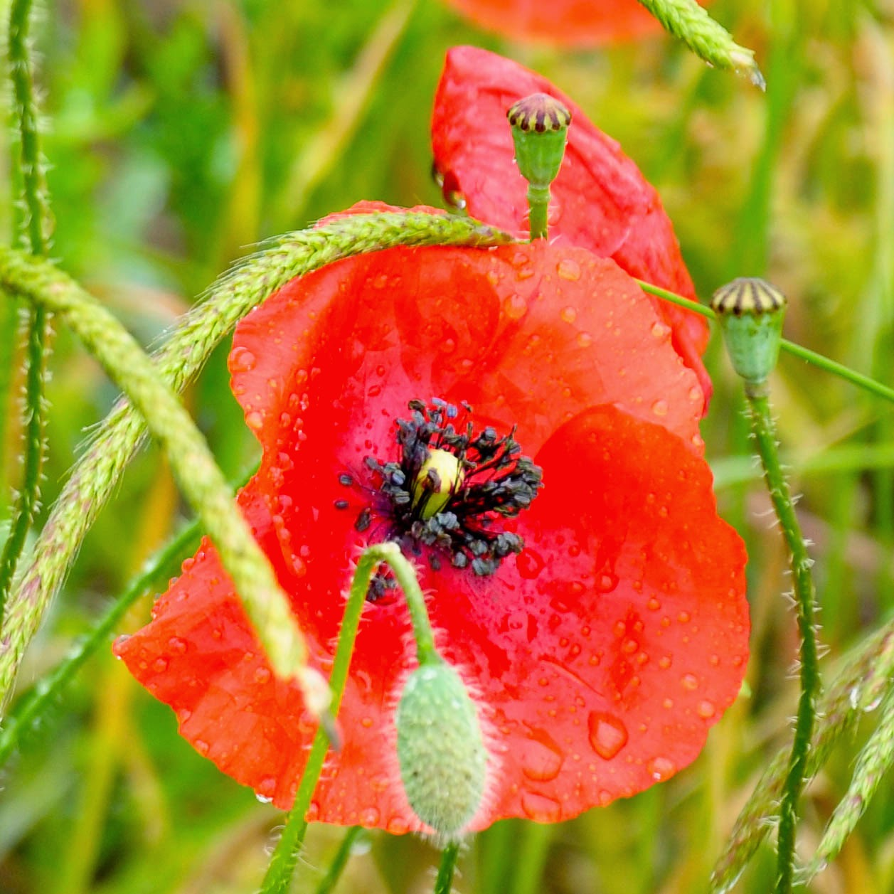 A close up of a poppy in the rain
