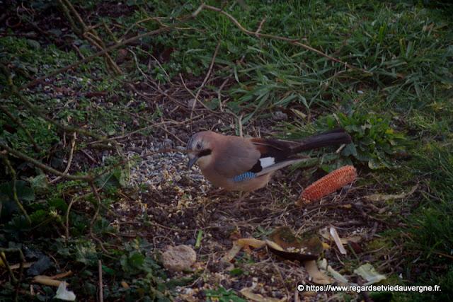 Oiseaux du jardin :  Geai des chènes