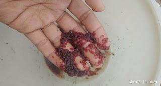 Jenis Makanan Ikan Manfish Cacing Darah