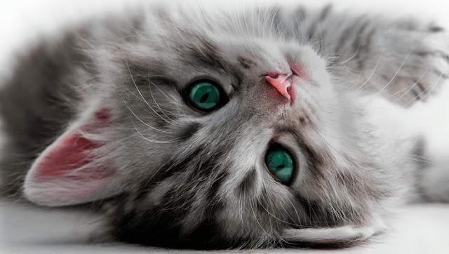 cat superstitions pregnancy