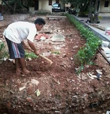 Jual bibit pohon teh tehan pagar - Surya Taman