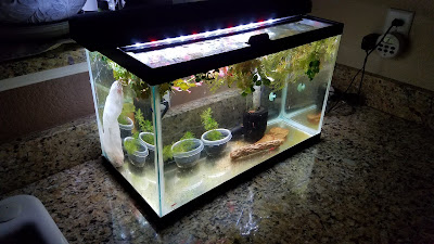 10-gallon aquarium for breeding neocaridina davidi