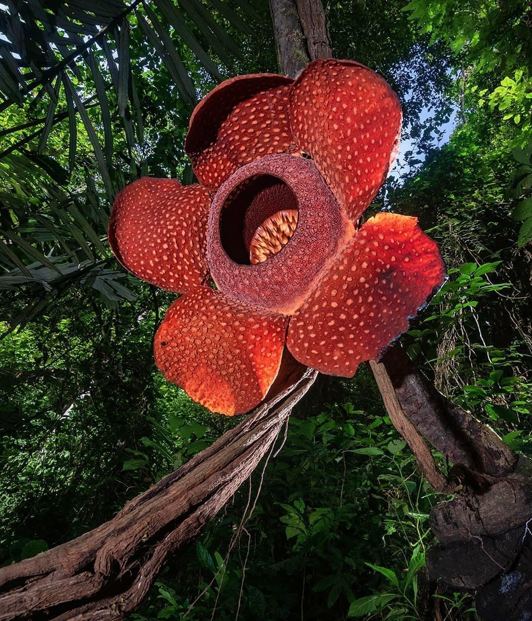 7 Flora Endemik Dan Khas Pulau Sumatera Yang Mengagumkan Abangnji Com