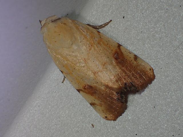 Xanthodes albago