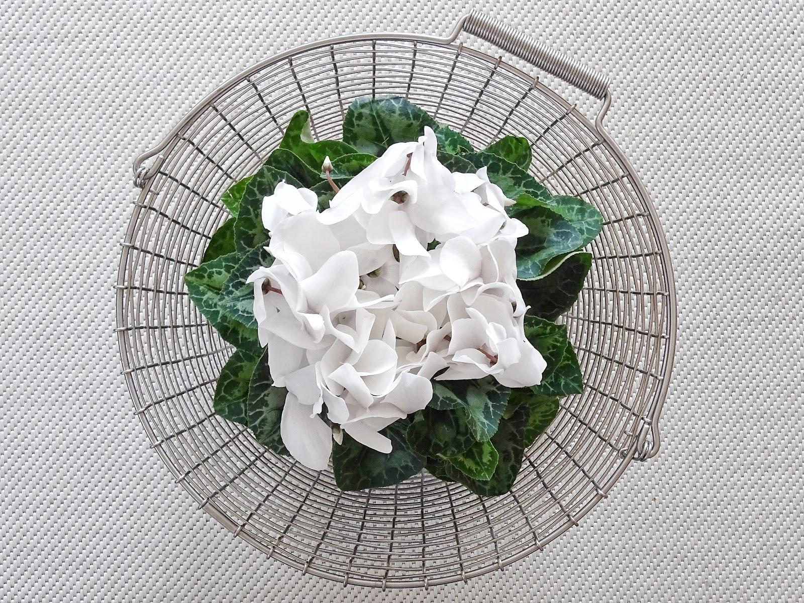 Weißes Alpenveilchen modern im Drahtkorb dekoriert - Fotoaktion #12von12 und 1 Tag in 12 Bildern - https://mammilade.blogspot.de