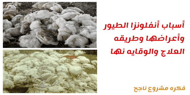 أسباب أنفلونزا الطيور وأعراضها وطريقه العلاج والوقايه نها